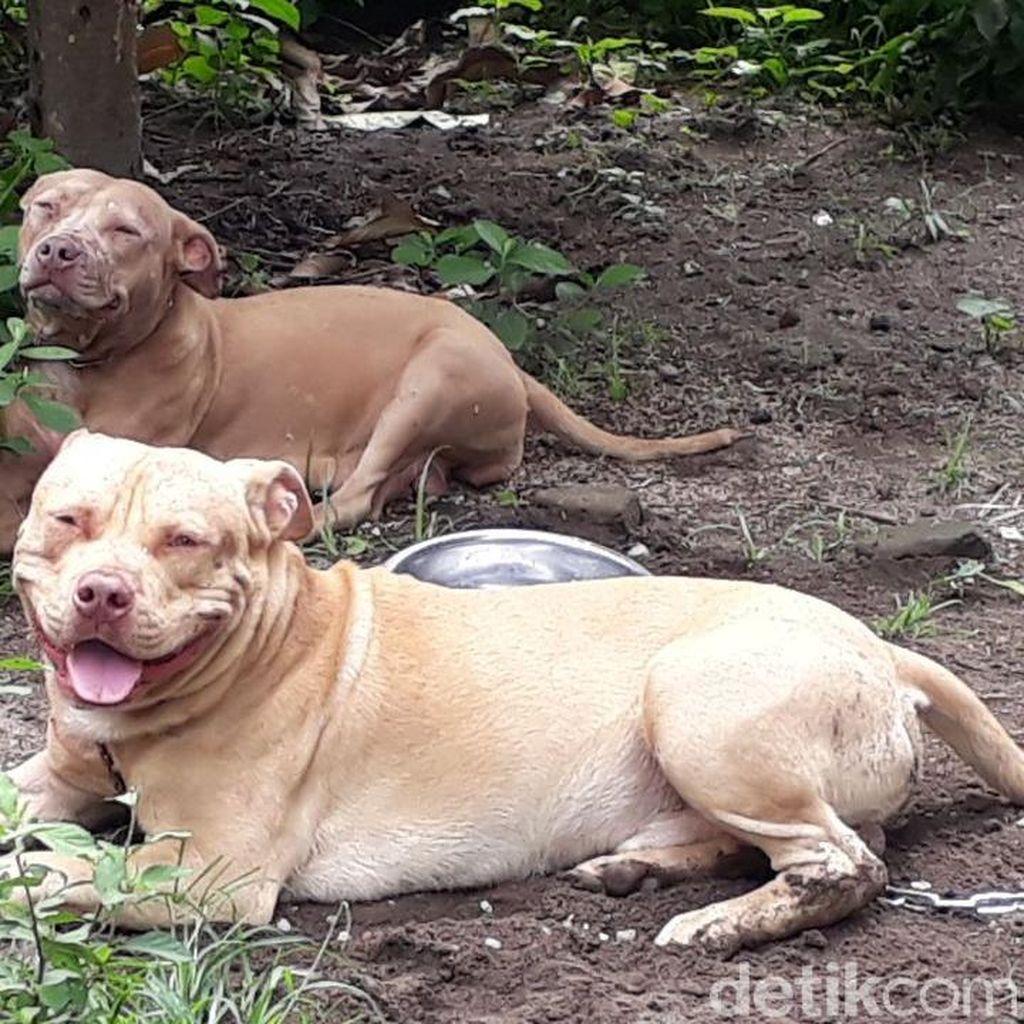 Dua Pit Bull Tewaskan Pria Tua, Ini Kata Pecinta Anjing Kediri