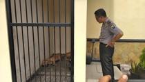 Pit Bull Dijadikan Penjaga Kandang Ayam, Ini Reaksi Disnak Kediri