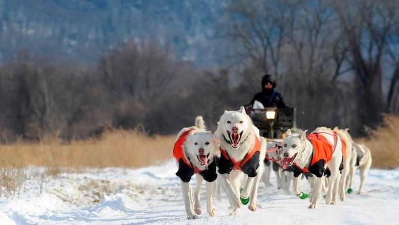 Foto: Mengintip Anjing Husky Latihan Seluncur