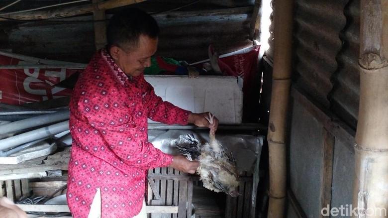 Matinya Puluhan Ekor Ayam di Mojokerto Karena Penyakit Newcastle