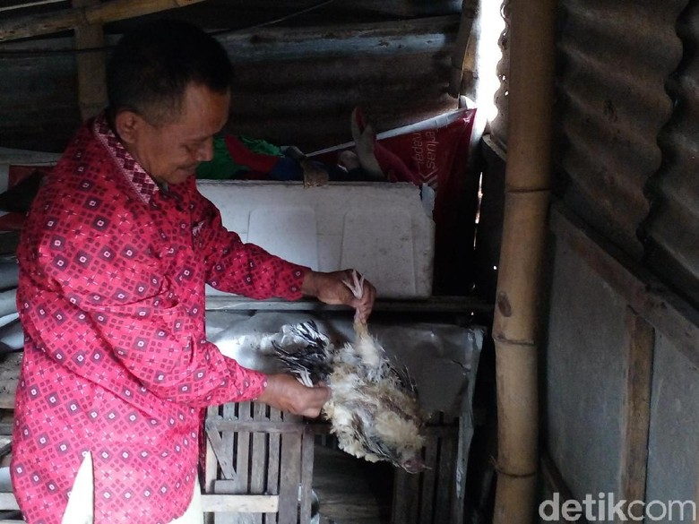 Puluhan Ekor Ayam Kampung di Kota Mojokerto Mati Misterius