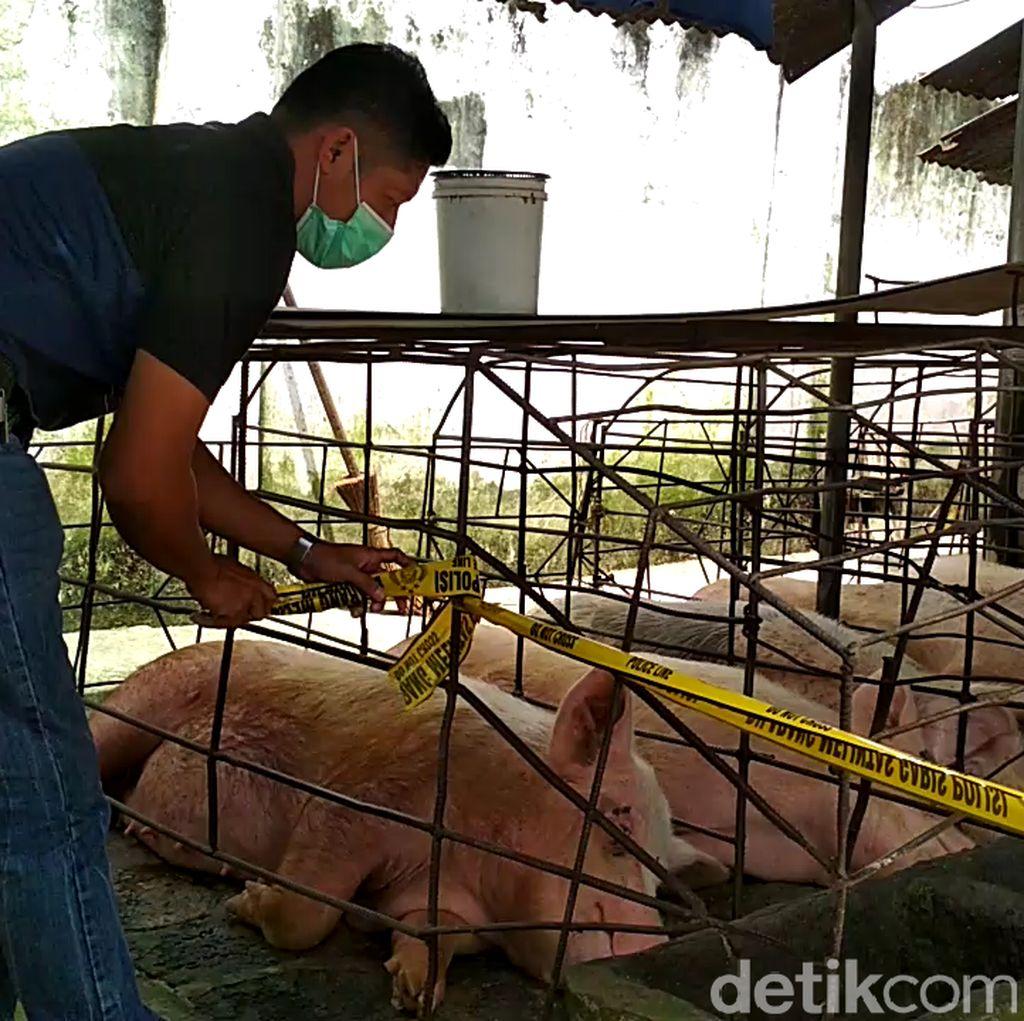 Tak Berizin dan Berpolusi, Kandang Babi di Blitar Ditutup