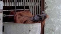 Penyelundupan Bayi Satwa Makin Membuat Orangutan Terancam Punah