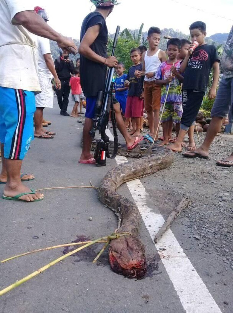 Ular Piton 5 Meter Gegerkan Warga Gorontalo