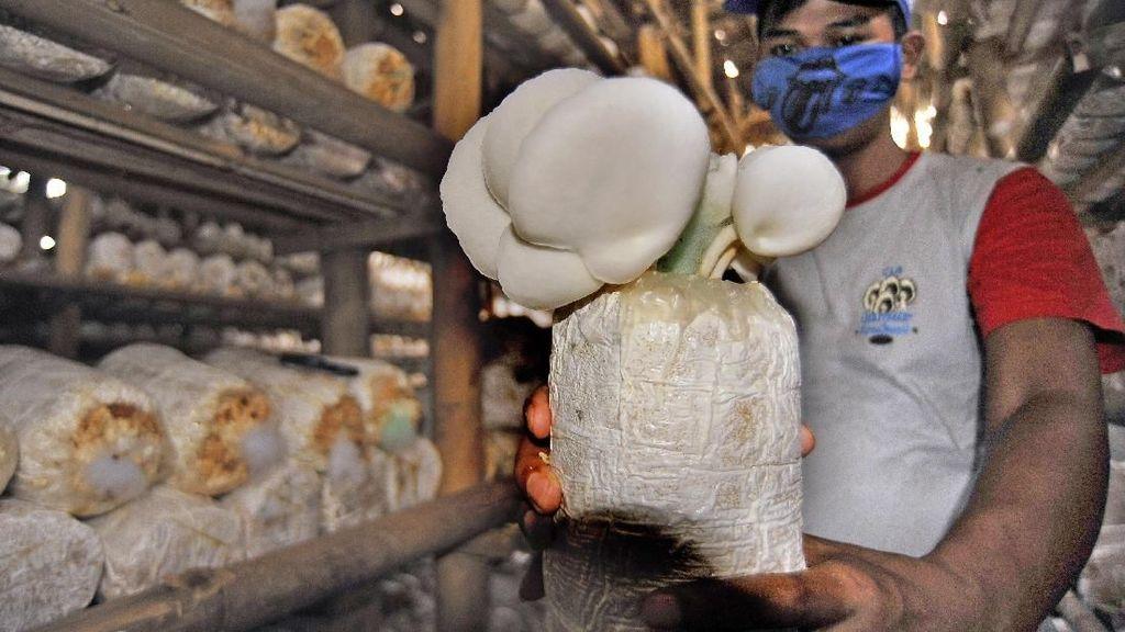 Asyik! Produksi Jamur Tiram Meningkat