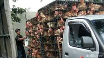 Kenaikan Harga Ayam Dipicu Produksi Turun, Ini Kata Peternak