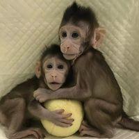 Sukses Kloning Monyet, Setelah Itu China Kloning Manusia?