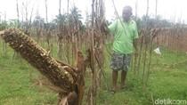 Hama Tikus Serang Tanaman Jagung dan Padi di Banjarnegara