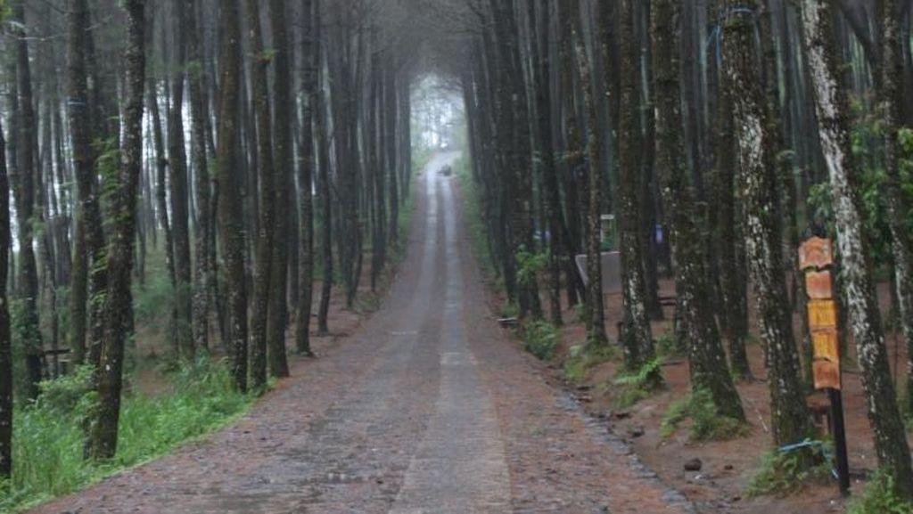 Hutan Pinus Kragilan yang Instagramable
