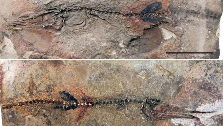 Keren! Bocah 10 Tahun Temukan Fosil Spesies Ikan Langka/ Foto: Oksana-Vernygora