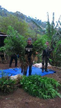 Setengah Hektare Ladang Ganja Ditemukan di Bengkulu