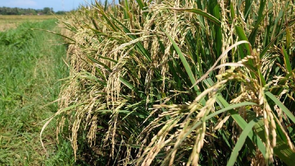 Gabah Rp 4.000/kg, Petani Rembang Tetap Semangat Tanam Padi