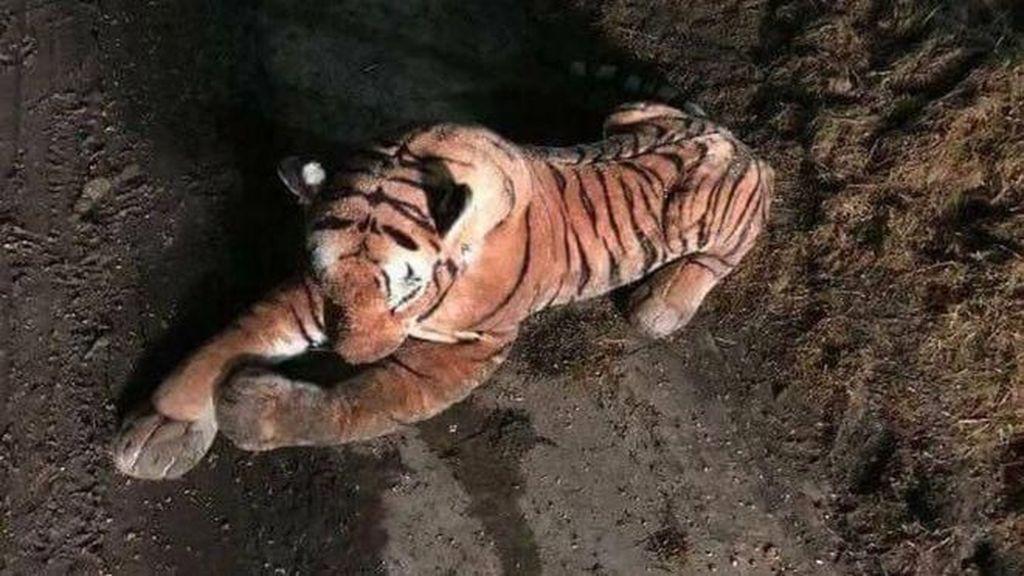 Polisi Bersenjata Dikerahkan Tangkap Harimau, Ternyata Ini Faktanya