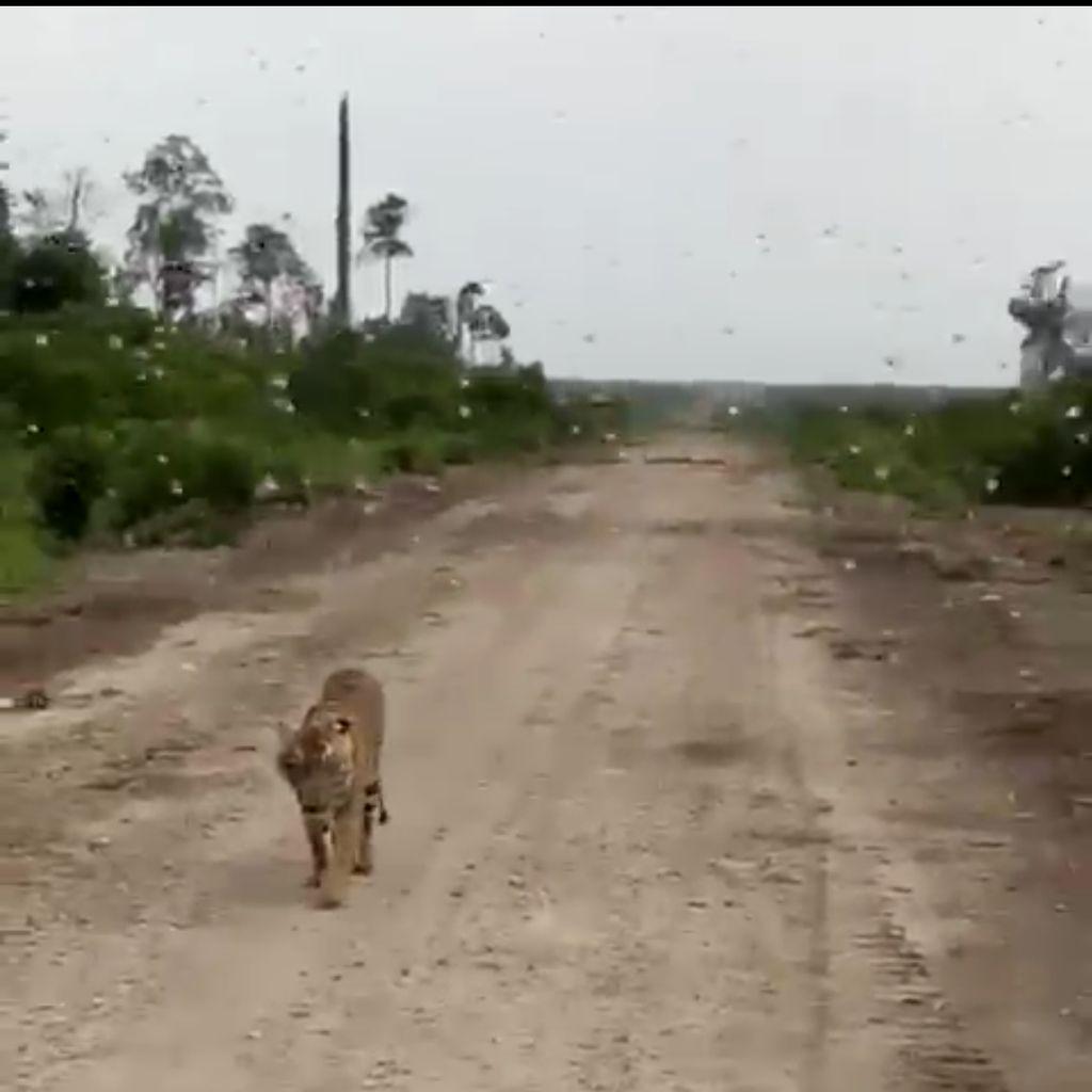 Ngeri! Ini Video Harimau Pemangsa Jumiati yang Mendadak Muncul