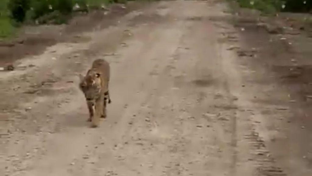Usai Ditembak Bius, Keberadaan Harimau Bonita Masih Misterius
