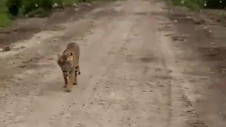Setelah Makan Jumiati, Harimau Bonita Kemungkinan Serang Manusia Lagi