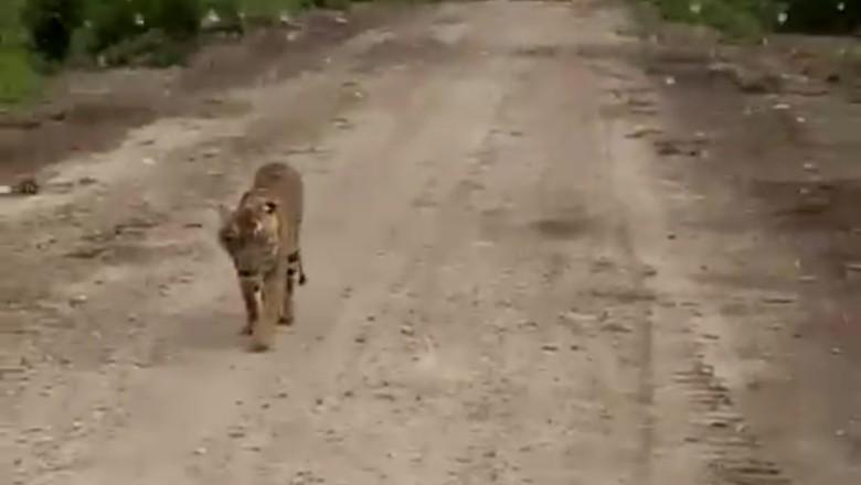 Harimau Bonita Nyaman Dekat dengan Manusia, Mengapa?