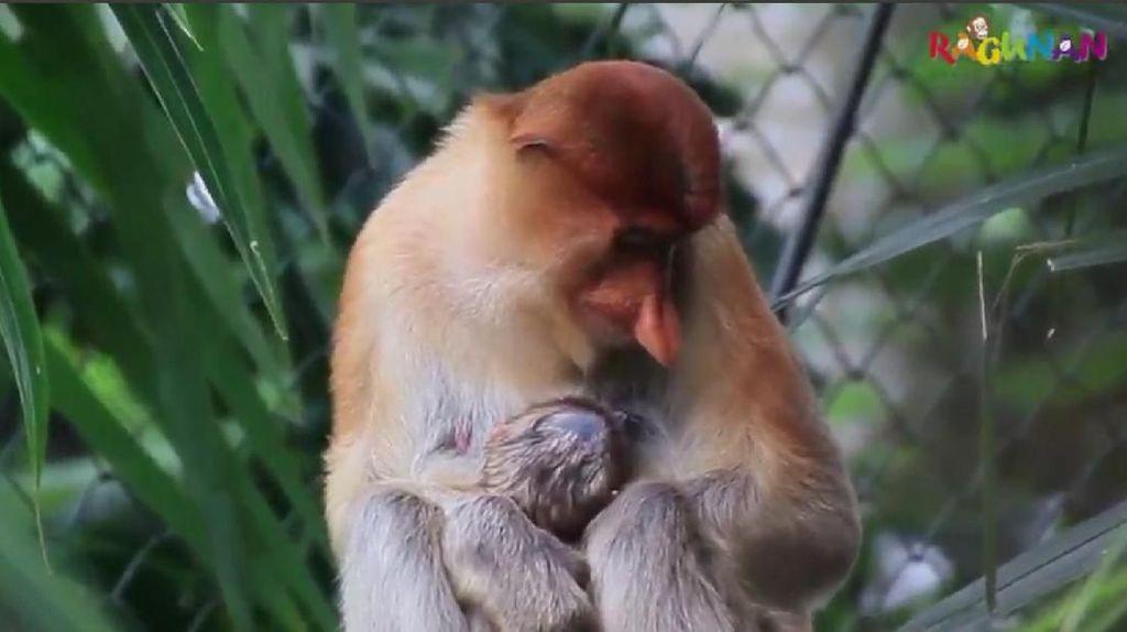 Gemas! Ini Bekantan yang Baru Lahir di Kebun Binatang Ragunan