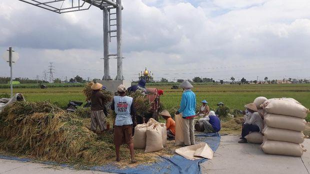 Petani Ngawi sedang memanen padi