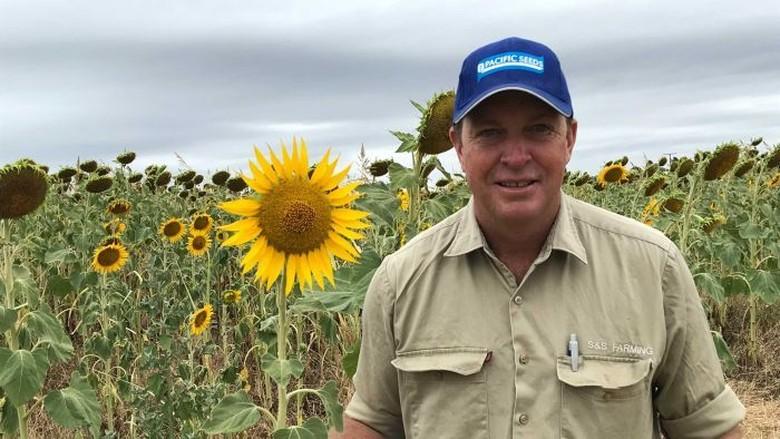 Petani Bunga Matahari di Queensland Kesal Turis Datang Untuk Selfie