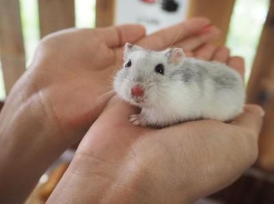 Dilarang Maskapai, Traveler Buang Hamster Peliharaannya di Lubang Toilet
