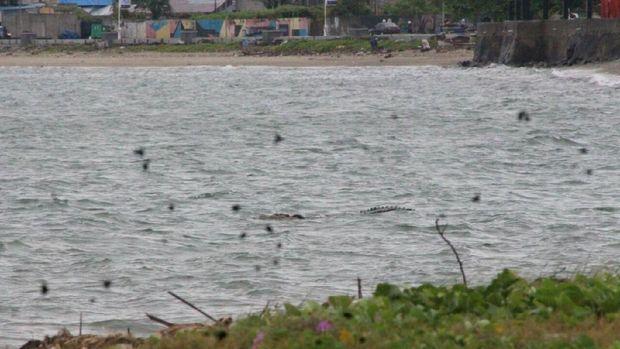 Buaya Berkalung Ban Kerap Muncul di Sungai dan Teluk Palu