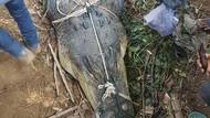 Warga Tangkap Buaya Sepanjang 3 Meter di Kebun Sawit di Jambi