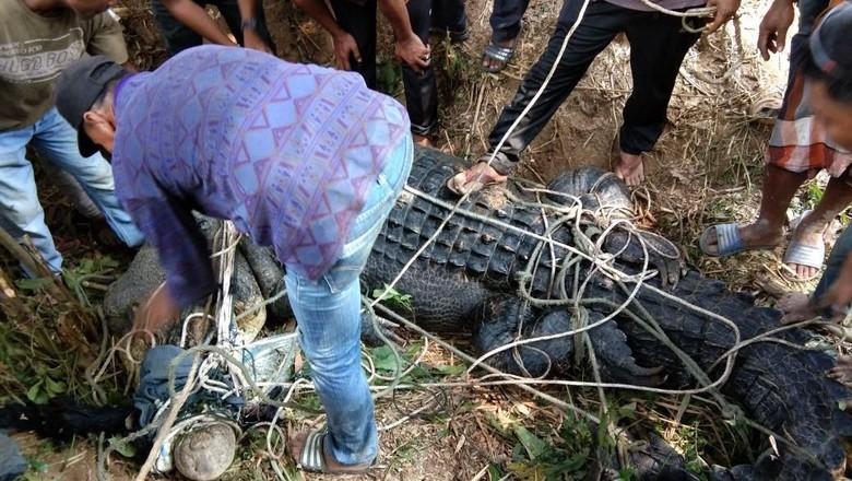 Warga Aceh Timur Tangkap Buaya Muara 1 Ton yang Bikin Resah
