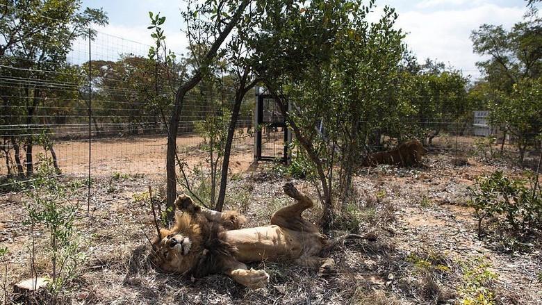 Duh! Pemburu Liar Dimakan Singa Buruannya Nyaris Tanpa Sisa