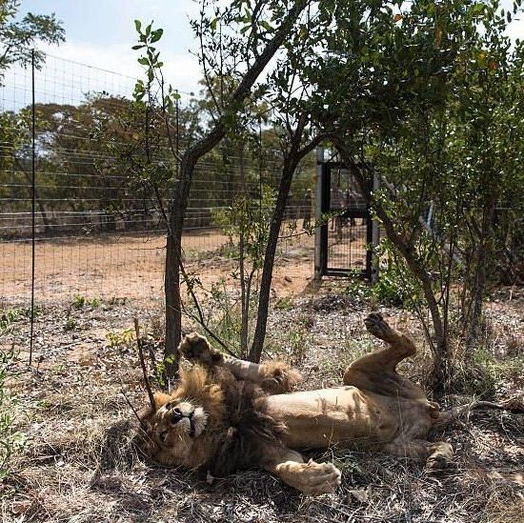 Kerempengnya Kondisi Hewan di Kebun Binatang Venezuela
