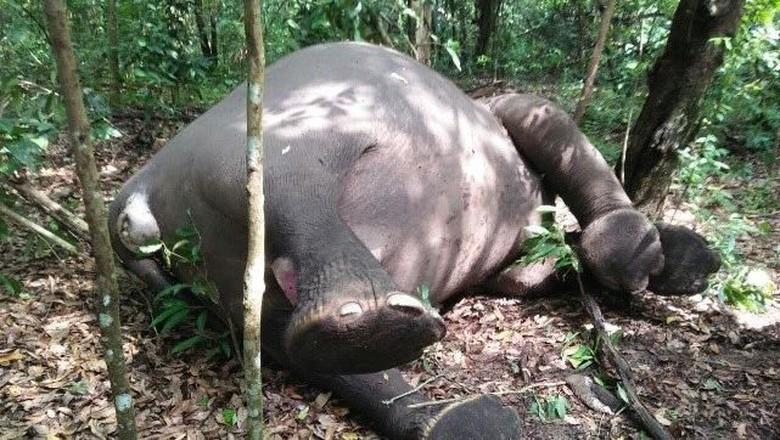 Seekor Gajah Mati di Way Kambas dengan 5 Lubang di Tubuhnya
