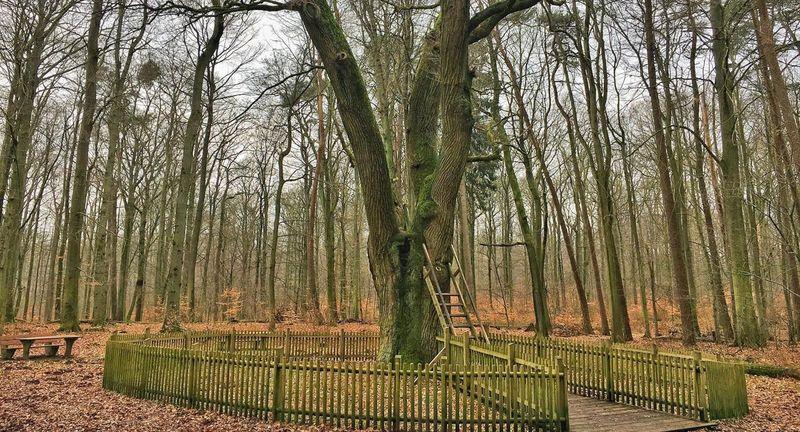 Inilah pohon ek berusia 500 tahun di dekat Kota Eutin, Jerman, 100 km dari Hamburg. Pohon ini berkaitan erat dengan adanya lebih dari 100 pernikahan (BBC Travel)