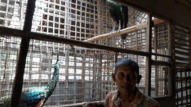 Ini sosok Mbah Surat, pria yang mendedikasikan dirinya untuk menangkar burung merak hijau yang dilindungi. (Foto: Sugeng Harianto)