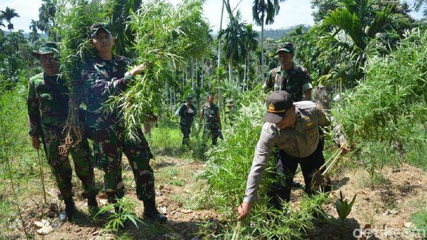 20 Hektare Ladang Ganja Ditemukan di Aceh Utara, Pemiliknya Kabur