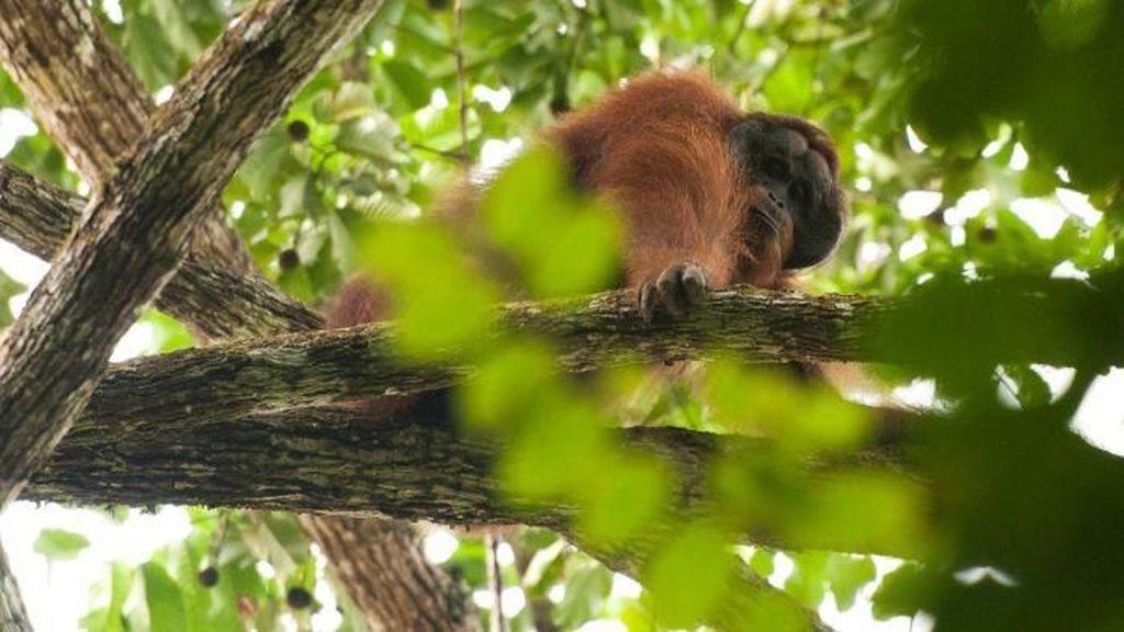 Dalam 16 Tahun, 100 Ribu Orangutan Terbunuh