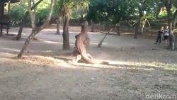 Ngeri dan Langka: Turis Lihat Pertarungan Komodo