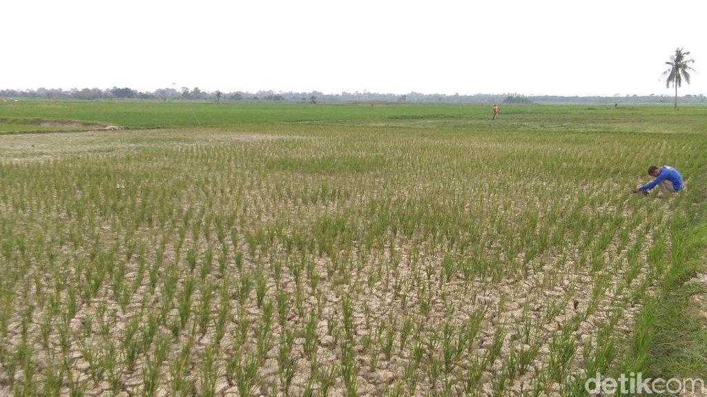 6 Ribu Hektare Sawah di Aceh Kekeringan, Petani Terancam Gagal Panen
