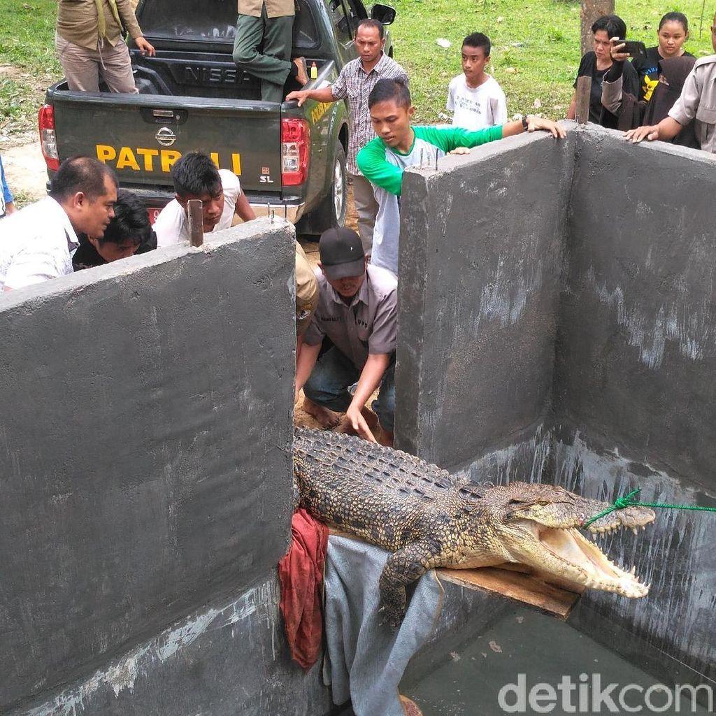 Diduga Stres, Buaya yang Ditemukan di Gorontalo Tak Mau Makan