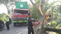 Tabrak Pohon Trembesi, Kontainer Truk Trailer Nyangkut