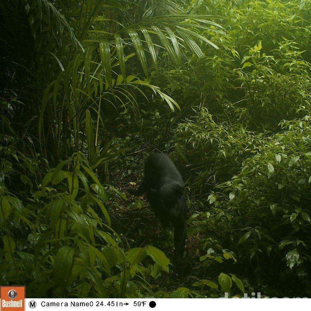 Kehebatan Black Panther Jawa yang Masih Eksis Hingga Kini