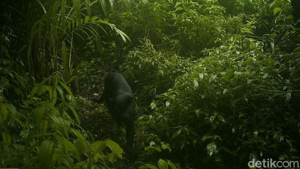 Imbauan Taman Nasional Semeru setelah Black Panther Muncul di Hutan