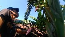Pohon Pisang di Surabaya Ini Unik, Bertandan dan Berjantung Dua