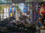 Warga Probolinggo Tangkap Ular Sanca Sepanjang 5 Meter