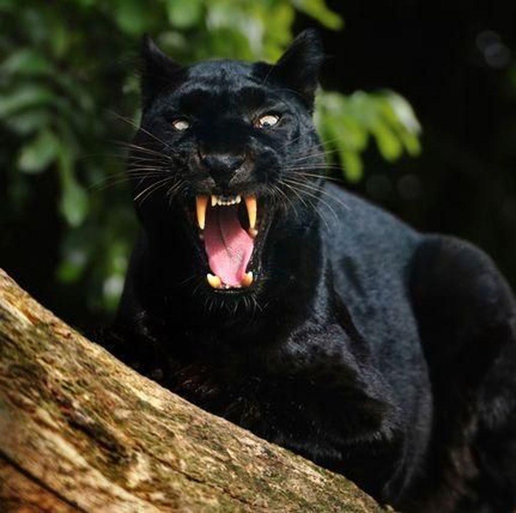 Penampakan Black Panther dari Berbagai Belahan Dunia