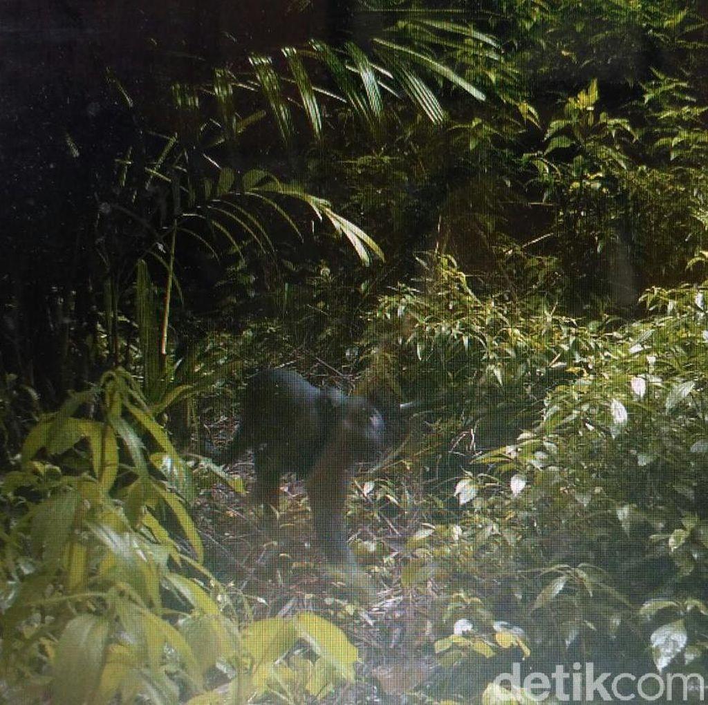 Foto: Black Panther yang Terekam Kamera di Taman Nasional Semeru