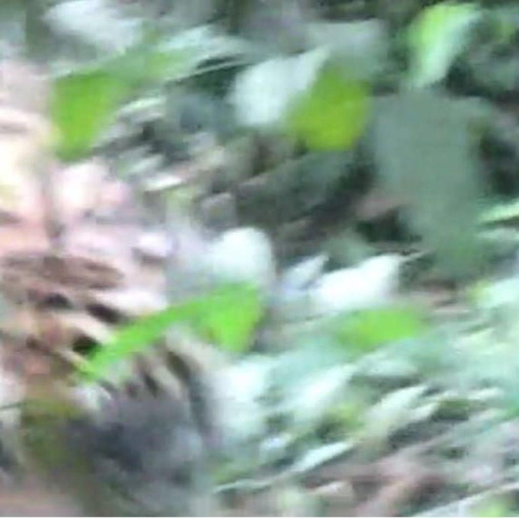 Bikin Lutut Lemas! Tim Tak Berkutik Saat Ketemu Macan Pemakan Jumiati