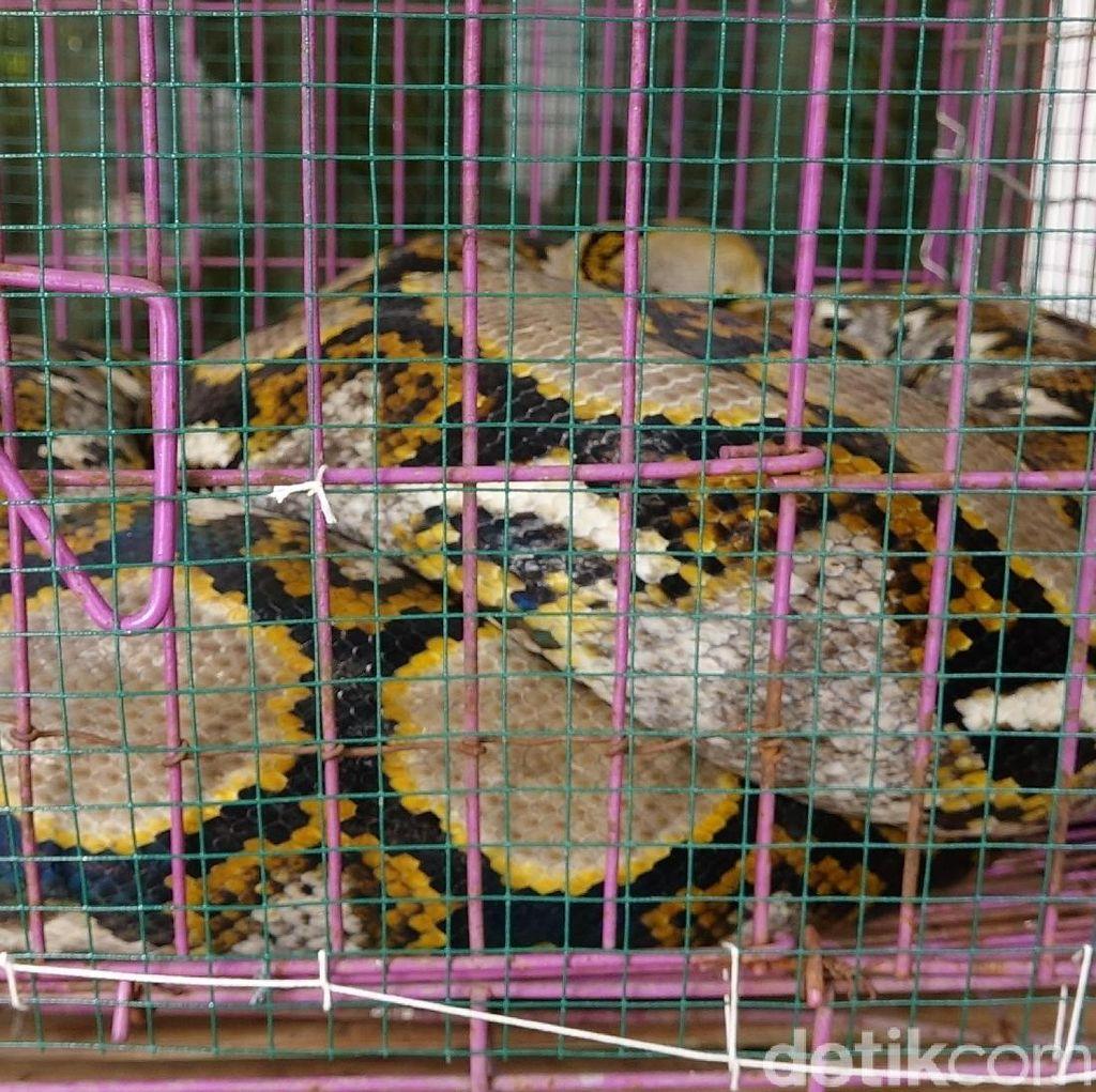 Foto: Ular Sanca Jumbo yang Diduga Memangsa Ternak Jadi Tontonan