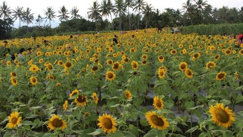 Yang Baru di Magelang, Kebun Bunga Matahari yang Instagramable