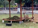 Rusa Jadi Ikon Wisata Baru di Pendopo Agung Trowulan