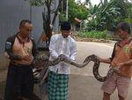 Hiii! Ular Sanca Kembang Ditemukan di Kali Mampang